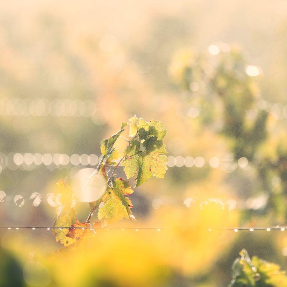 Vigne Margaux - rosée du matin