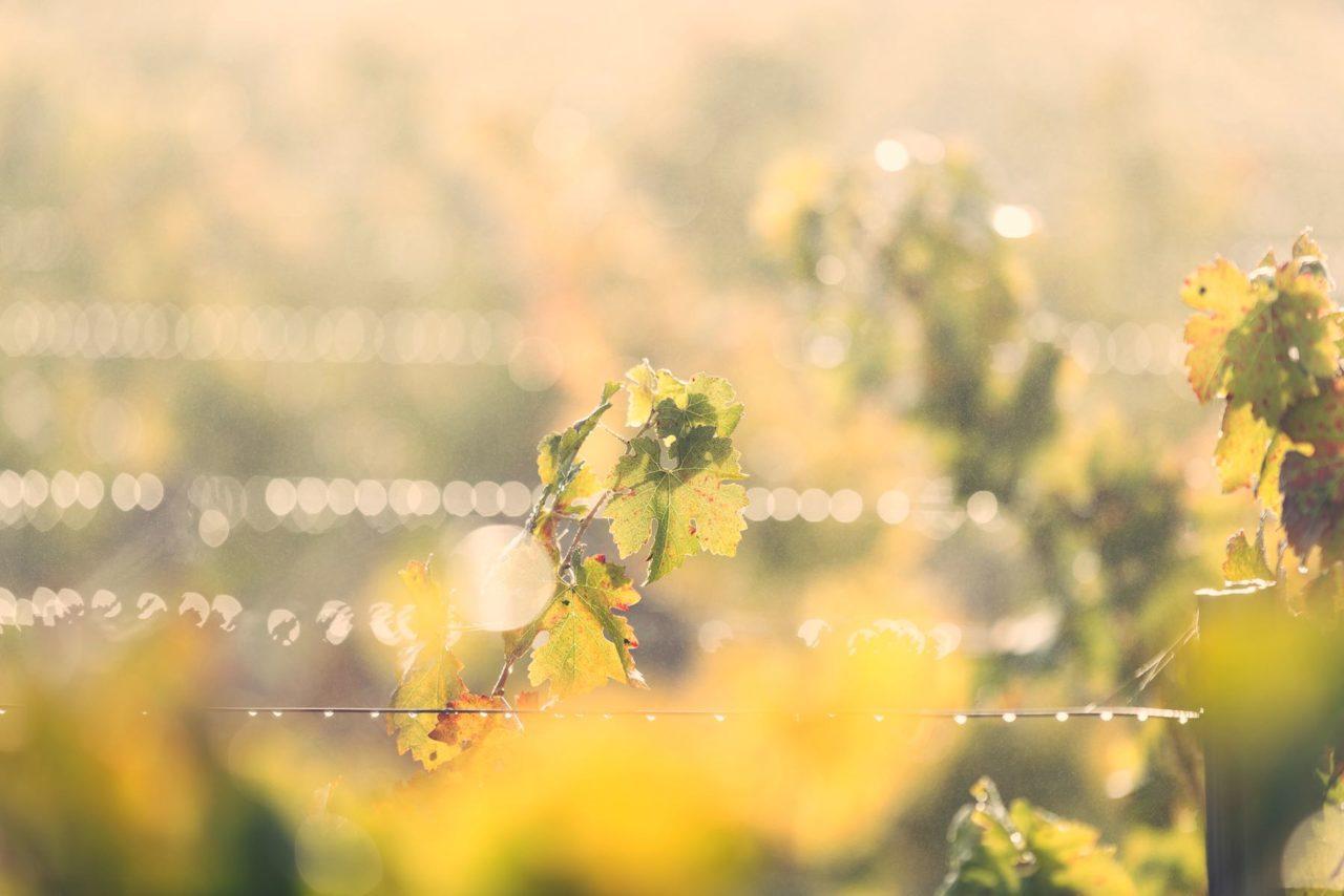 Vigne Margaux - Bordeaux